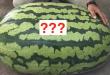 Indovina quanto pesa l'anguria gigante!