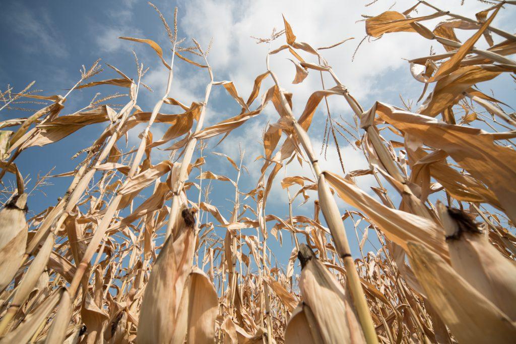 mais agricoltura clima