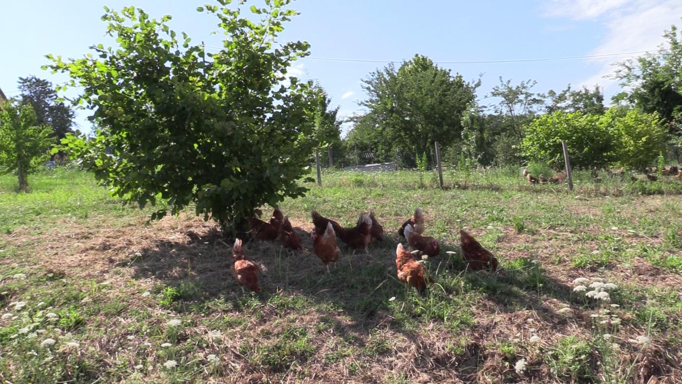 allevamento biologico galline ovaiole