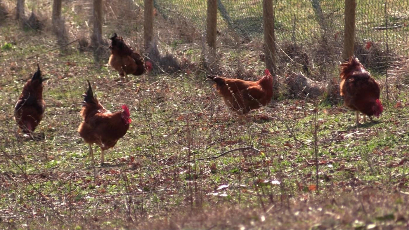 polli aperto allevamento