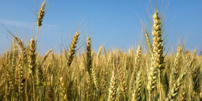 Crea: il grano antico contiene più proteine dannose per i celiaci rispetto a quello moderno