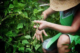 agricoltura biologica bio verdura fagiolini