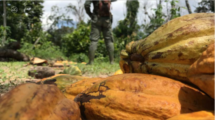 piantagioni cacao africa foreste mighty earth