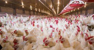 Polli allevamento