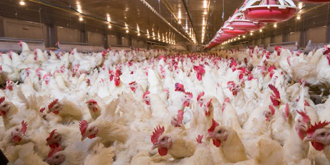 Polli a crescita lenta e felici. La razza incide sul benessere animale più della densità di allevamento, secondo uno studio