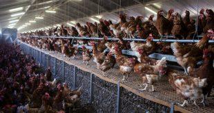 polli galline carne allevamento gabbie