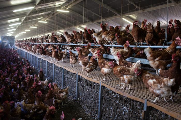 polli galline carne allevamenti gabbie