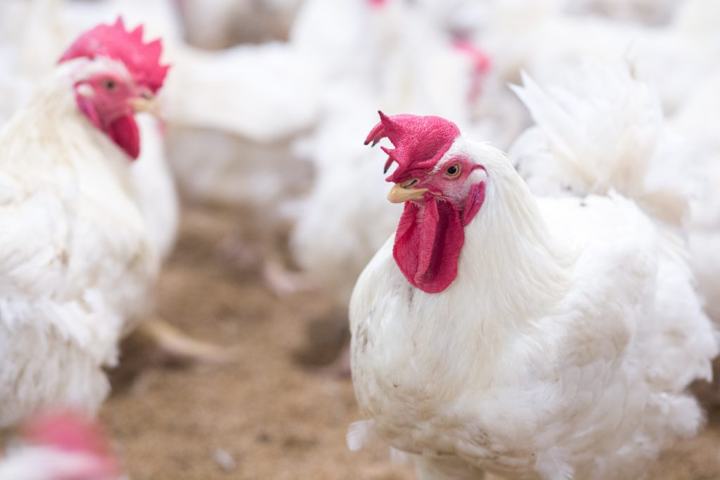 Poultry farm business for the purpose of farming meat or eggs for food from, White chicken Farming feed in indoor housing