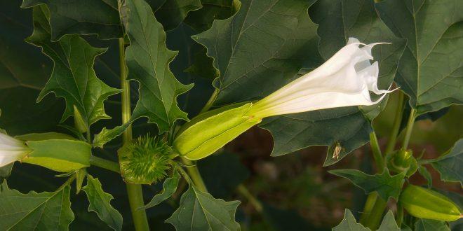 stramonio Datura stramonium pianta con fiori e semi