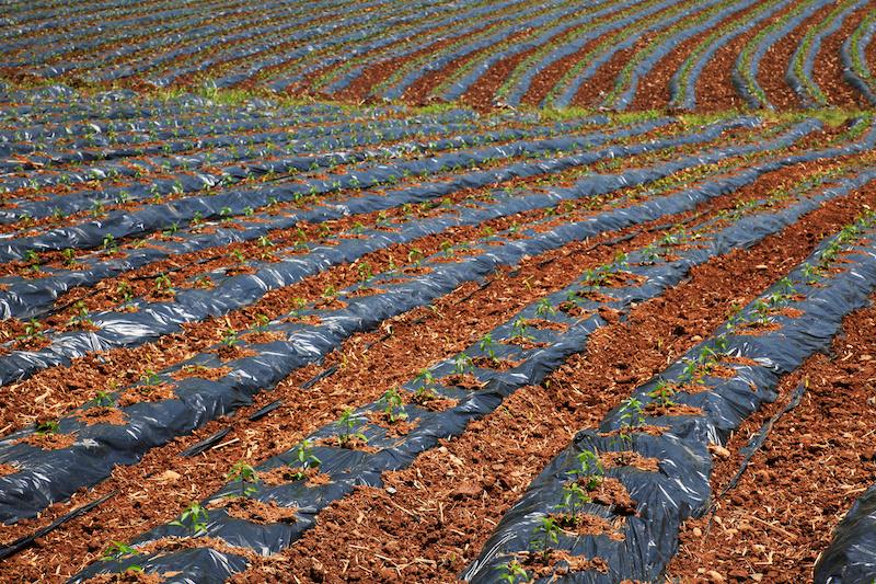 insalate campi pacciamatura plstica coltivare agricoltura biologica