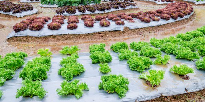 insalate campi pacciamatura plstica coltivare