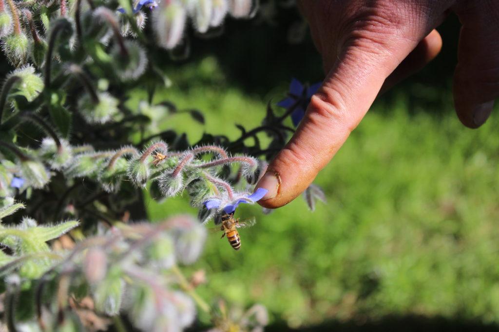 Impollinazione api - Ph. Adelina Zarlenga - Monica Pelliccia