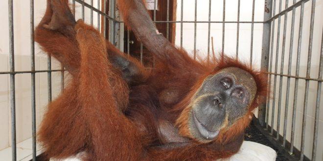 orangutan hope sumatra olio di palma gabbia