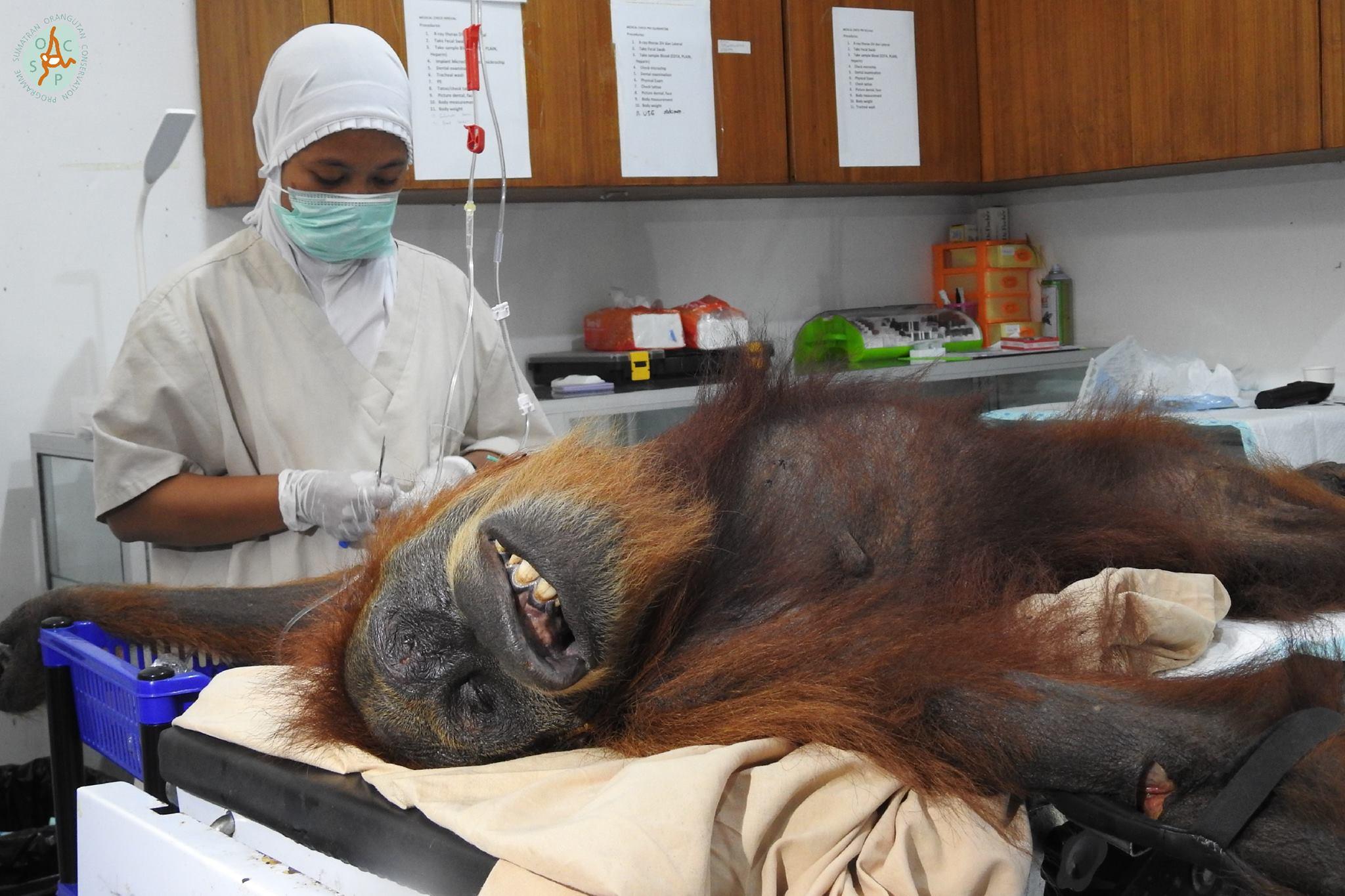 orangutan hope sumatra olio di palma