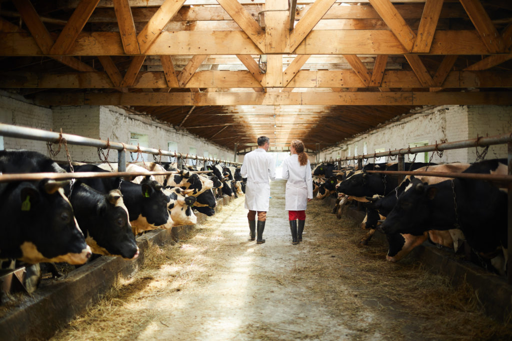 controlli veterinari allevamento bovini vacche latte
