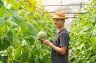 meloni frutta giappone coltivare serra