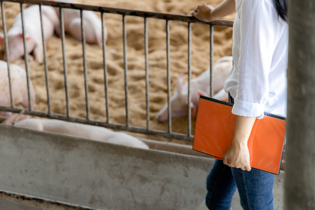Smart farmer with notes walking and checking quality in organic farm pig. Agriculture and livestock industry
