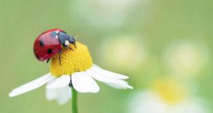camomilla fiore coccinella insetto prato