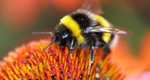 Bumblebee sucks nectar from the flower with her long tongue bombo fiore glifosato impollinatori