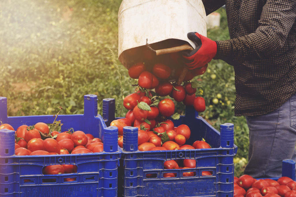 man picks a crop of tomatoes and puts them in a box in a vegetable garden. Harvesting in the field, organic products