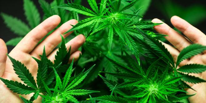 Semi, farina e olio di canapa: è boom di prodotti ricavati dalla Cannabis sativa. Il nuovo decreto fissa i limiti di Thc negli alimenti