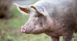 Big organic free range pig close up