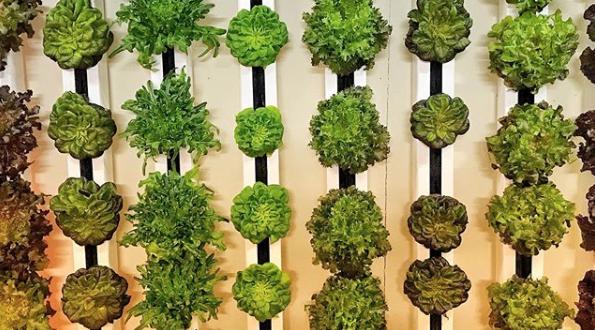 vertical farm urban liverpool insalata