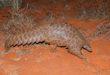 pangolino animali epidemia coronavirus cina
