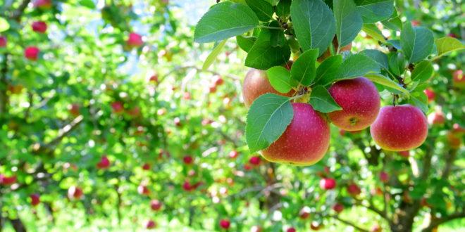 Troppi pesticidi per coltivare le mele trentine. Ridurre si può, ma non è facile