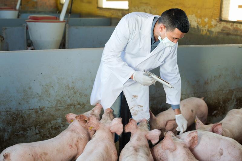 Gripe suína na China, opinião de Anses sobre a nova cepa viral 4