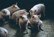 Peste suina africana, nessun rischio per i consumatori. Le rassicurazioni del BfR dopo la scoperta del virus in Germania