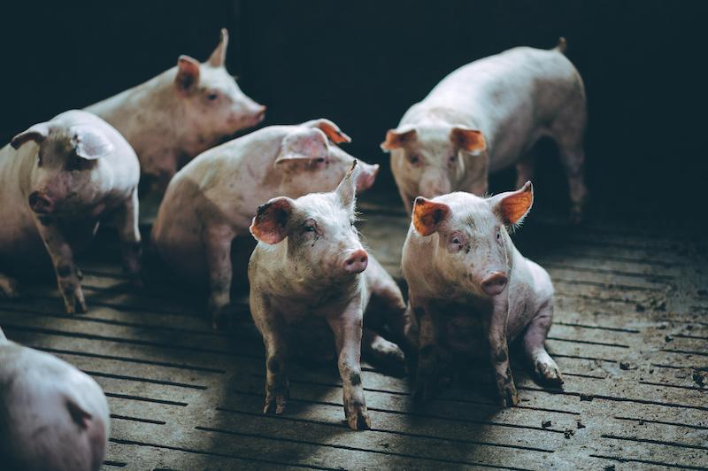 Porcos, como melhorar as condições de abate de acordo com a Efsa 4