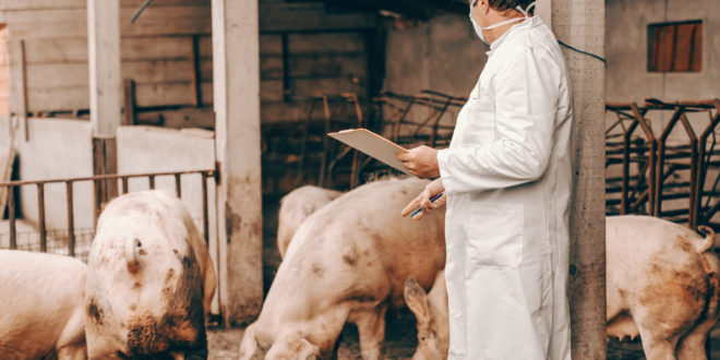 Cina, nei maiali il nuovo virus dell'influenza che preoccupa gli scienziati: è possibile un salto di specie e una nuova pandemia?