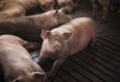 Group of pigs domestic animals at pig farm. suini maiali