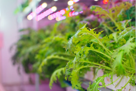 Plants in hydroponics agricultural farm