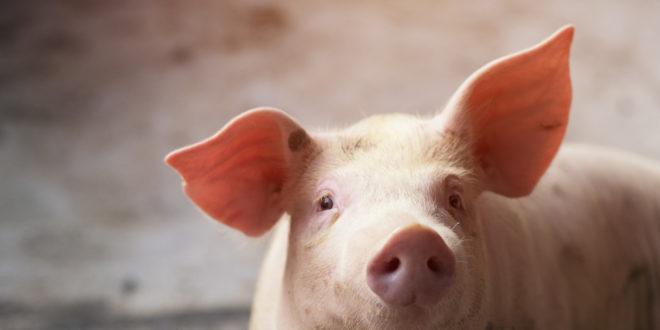 Coronavirus: cosa possiamo imparare dall'epidemia che ha colpito i maiali americani. Il virus fermato da strette misure di biosicurezza