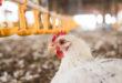 Il coronavirus contagia gli animali da allevamento? Polli e tacchini no, i maiali sì ma con difficoltà, secondo due studi canadesi