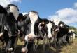 Carne: le prime 20 grandi aziende emettono più gas serra di Paesi come Francia e Germania