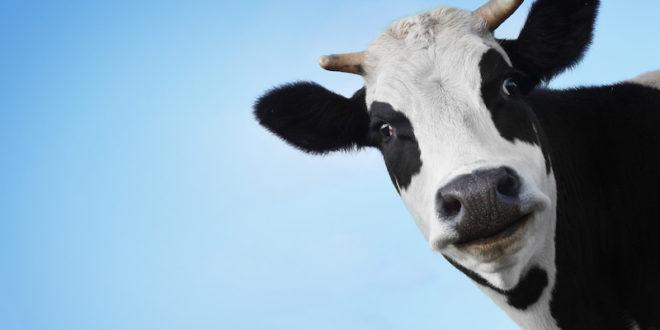 Adotta una mucca: un aiuto a distanza in cambio di burro, formaggio fresco e molto altro