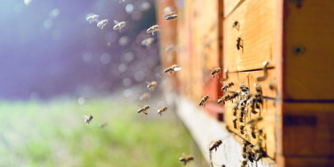 Api: anche i pesticidi di nuova generazione  risultano dannosi. Lo rivela una ricerca dell'Università di Torino
