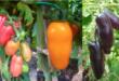 pomodori san marzano colorati enea