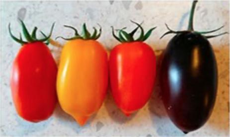 pomodori san marzano colorati enea studio