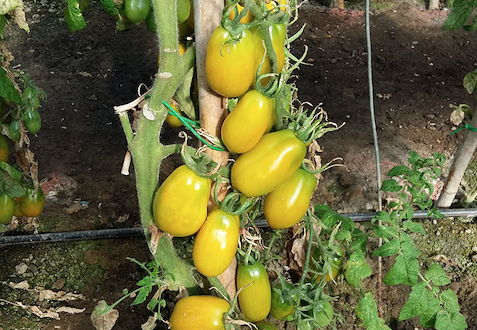 pomodori san marzano giallo