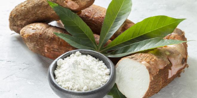 Cassava, manioca o yuca: tanti nomi per il tubero della pianta del futuro, resiliente alla siccità e all'aumento di CO2