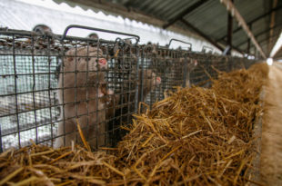 Mink farm. Mink in the cage. Mink's fur