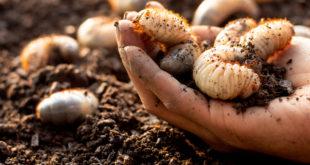larve insetti coleotteri terra terreno mano