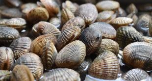 vongole molluschi