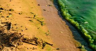 alghe fioritura algale spiaggia
