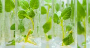 piante patata tubi provette laboratorio rna