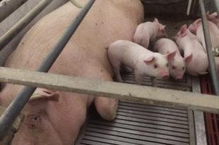 allevamenti, benessere animale